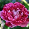 Picture of Commandant Beaurepaire-Rose