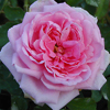 Picture of Comte de Chambord-Rose