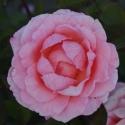 Picture of Congratulations-Rose