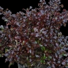 Picture of Coprosma Black Velvet