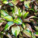 Picture of Coprosma Golden Glow