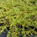 Picture of Coprosma Kirkii Goldstream