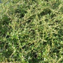 Picture of Coprosma Kirkii Std