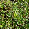 Picture of Coprosma Kiwi Silver