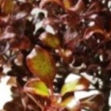 Picture of Coprosma Paradise Punch