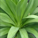 Picture of Cordyline Broadsword