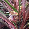 Picture of Cordyline Can Can