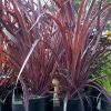 Picture of Cordyline Designaline Burgundy