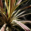 Picture of Cordyline Electric Flash