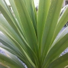 Picture of Cordyline Green Goddess