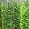 Picture of Cordyline Karo Kiri