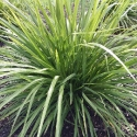 Picture of Cordyline Lime Fountain