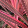 Picture of Cordyline Paso Doble
