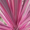 Picture of Cordyline Pink Passion