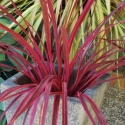 Picture of Cordyline Raspberry Fountain