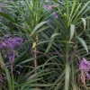 Picture of Cordyline Stricta