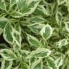 Picture of Cornus Alternifolia Argentea