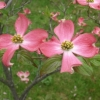 Picture of Cornus Andrea Hart