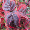 Picture of Cornus Cherokee Sunset L/W