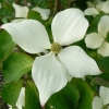 Picture of Cornus China Girl