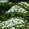 Picture of Cornus Chinensis