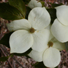 Picture of Cornus Doubloon L/W