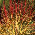 Picture of Cornus Midwinter Fire
