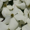 Picture of Cornus Moonbeam