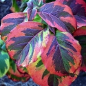 Picture of Cornus Rainbow