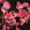 Picture of Cornus Rubra L/W