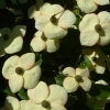 Picture of Cornus Southern Cross L/W