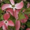 Picture of Cornus Spring Song L/W