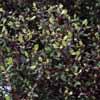 Picture of Corokia Cotoneaster