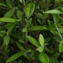 Picture of Corokia Geentys Green Cones