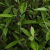 Picture of Corokia Geentys Green