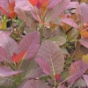 Picture of Cotinus Grace