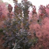 Picture of Cotinus Royal Purple