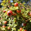Picture of Cotoneaster Dammeri