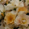 Picture of Cottage Maid-Rose