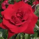 Picture of Crimson Bouquet Std 80cm-Rose