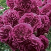 Picture of Crimson Shower Std 1.8m Weeper-Rose
