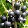 Picture of Currant Black Magnus