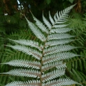 Picture of Cyathea Dealbata
