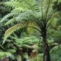 Picture of Cyathea Medullaris