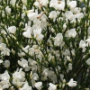 Picture of Cytisus Albus