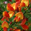 Picture of Cytisus Lena