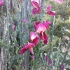 Picture of Cytisus Ruby