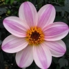Picture of Dahlia Mystic Dreamer