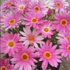 Picture of Daisy Angelic Giant Pink