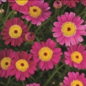 Picture of Daisy Angelic Magenta